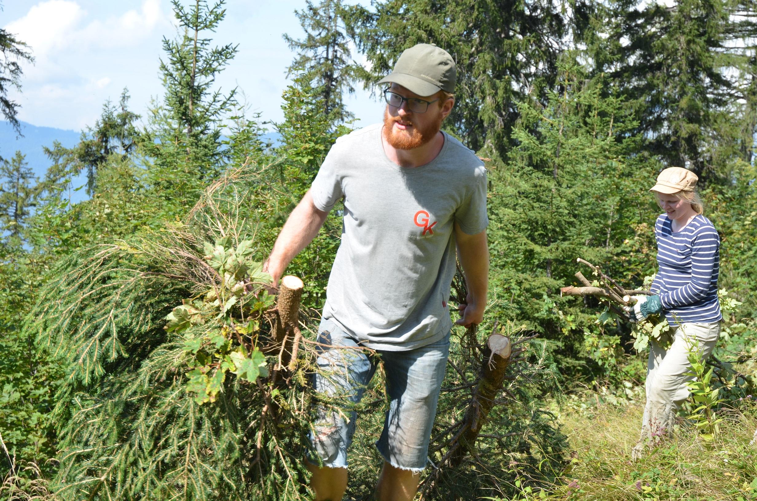 Junger Mann zieht zwei Nadelbäume hinter sich her